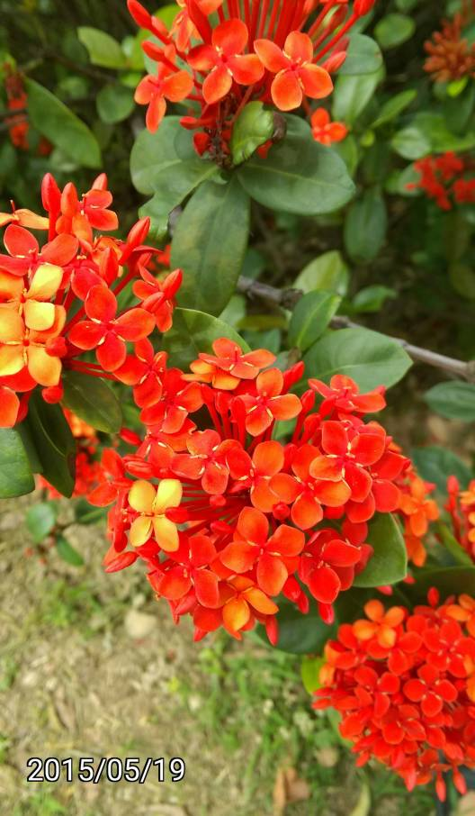 裂瓣仙丹花、Ixora chinensis, West Indian Jasmine